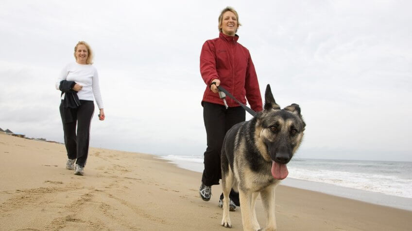 A cute young German Shepherd takes her owners for a walk down the beach on a mild winter day in Virginia Beach.