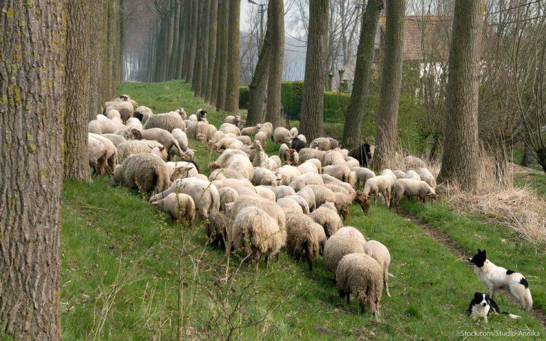 Virginia Sheep Tax