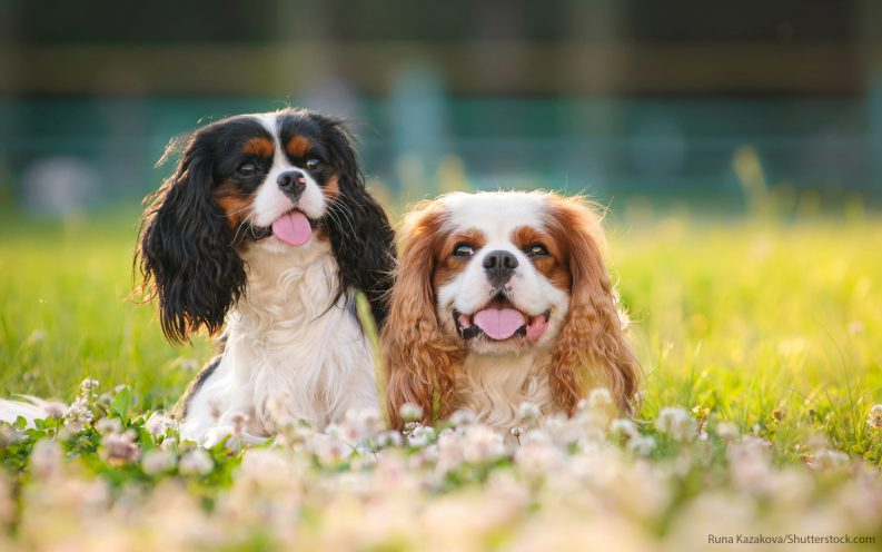 The 30 Most Expensive Dog Breeds To Own Video Las Vegas Review Journal