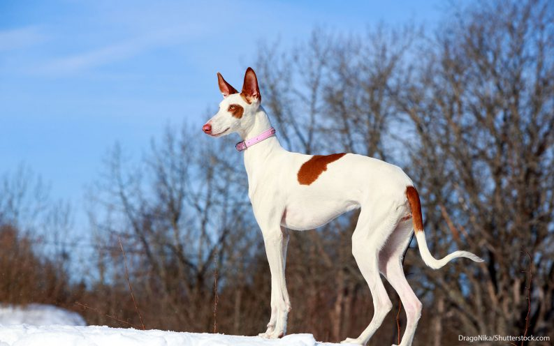 The 30 most expensive dog breeds to own – Las Vegas Review-Journal
