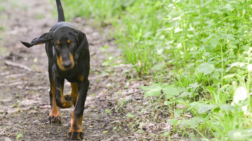 Affordable Hunting Dog Breeds