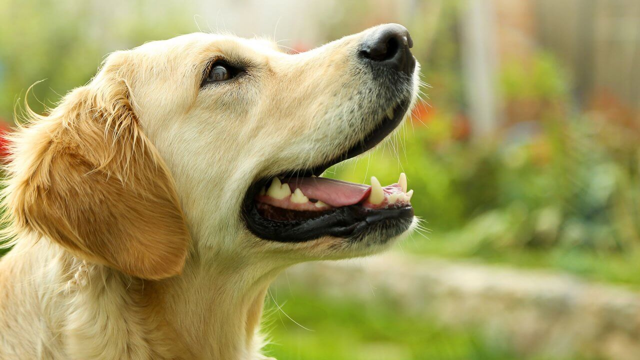 30 Most Expensive Dog Breeds