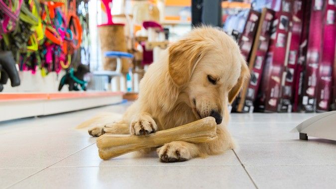 golden retriever with big bone in pet store