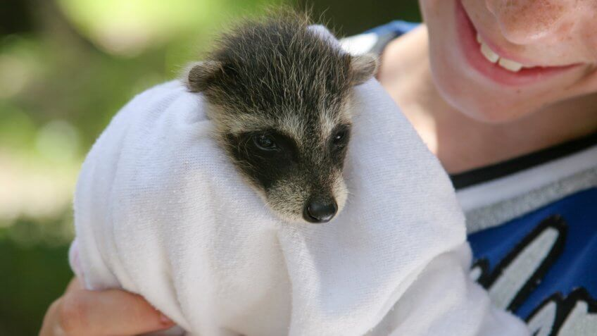 A baby raccoon being held by a young wildlife rescue volunteer.