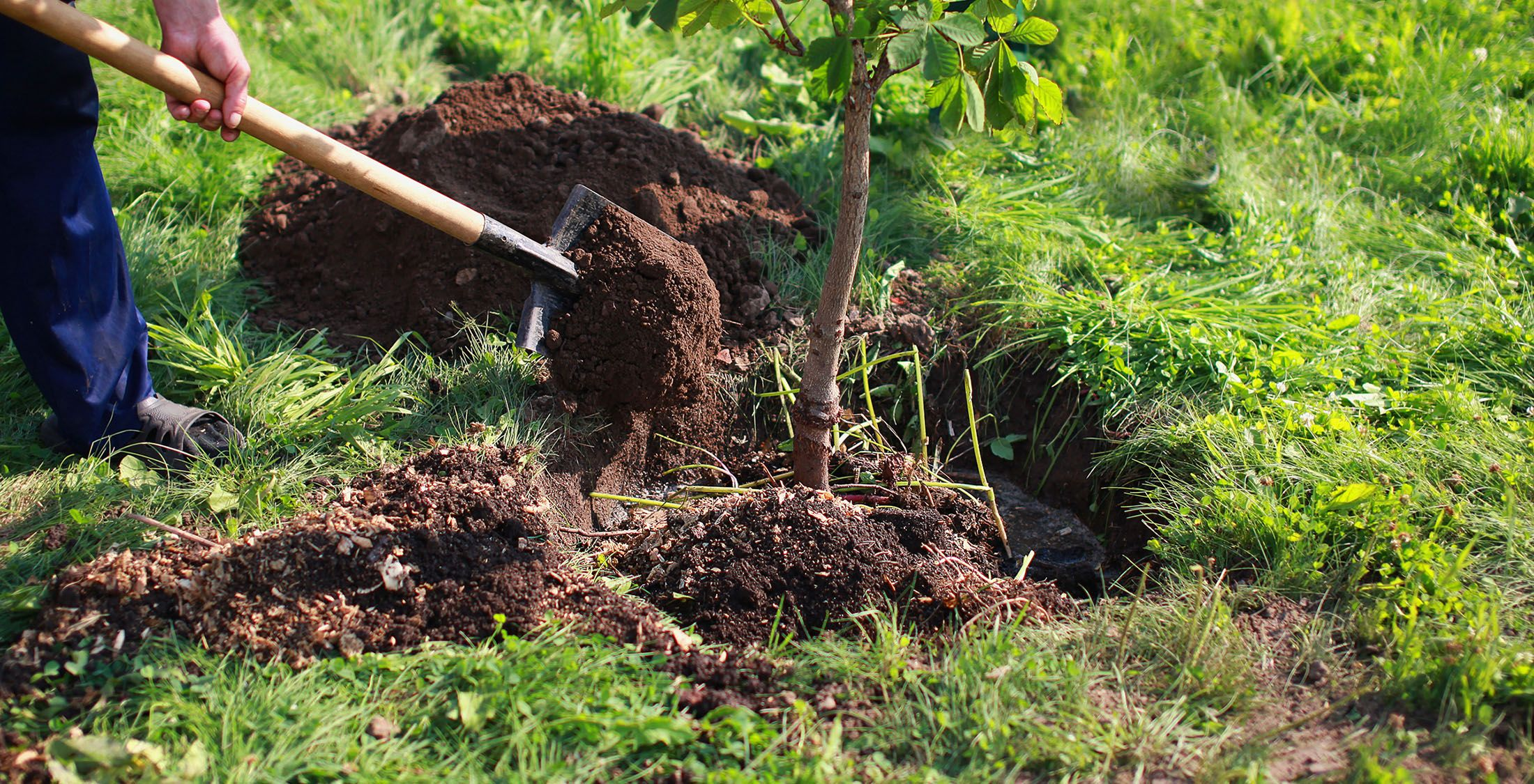 planting tree with fresh dirt