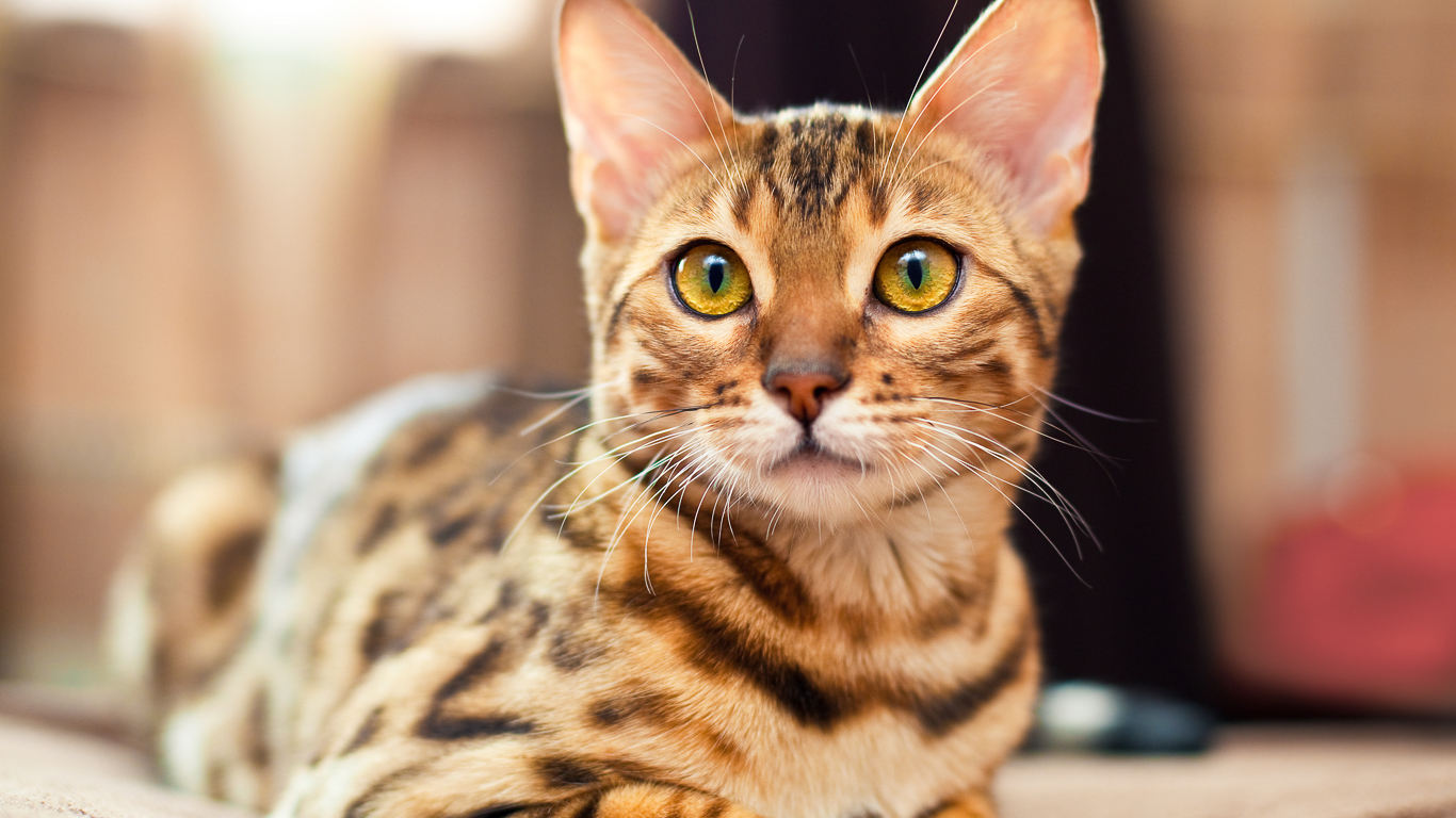 Affordable Cat Breeds