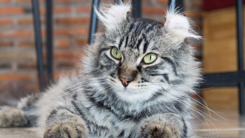 American Curl Russia The Most and Least Exp...