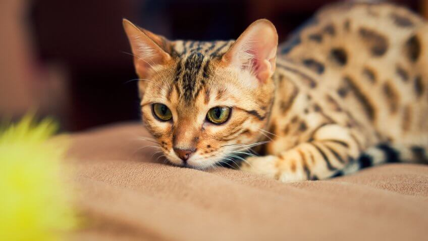 A Bengal Cats Personality The Most and Le...