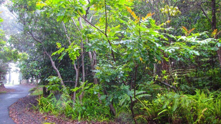 Kalopa Native Forest
