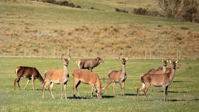Deer Urine Farmer
