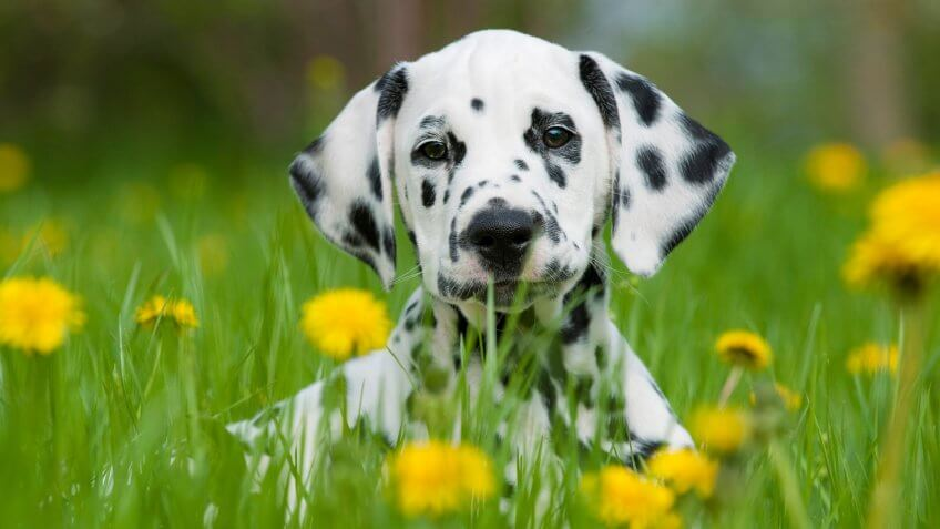 Dalmatian puppy in a spring meadow.