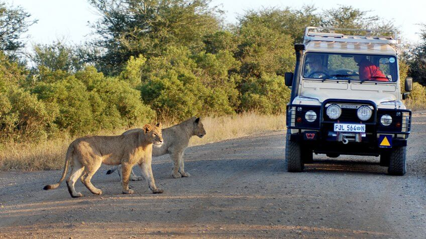 KRUGER PARK SOUTH AFRICA MAY 15: Lions crossing a road in front a tourist car on may 15 2007 in Kruger South Africa.