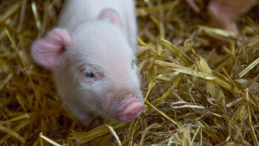 Picture shows: Micro pig.
