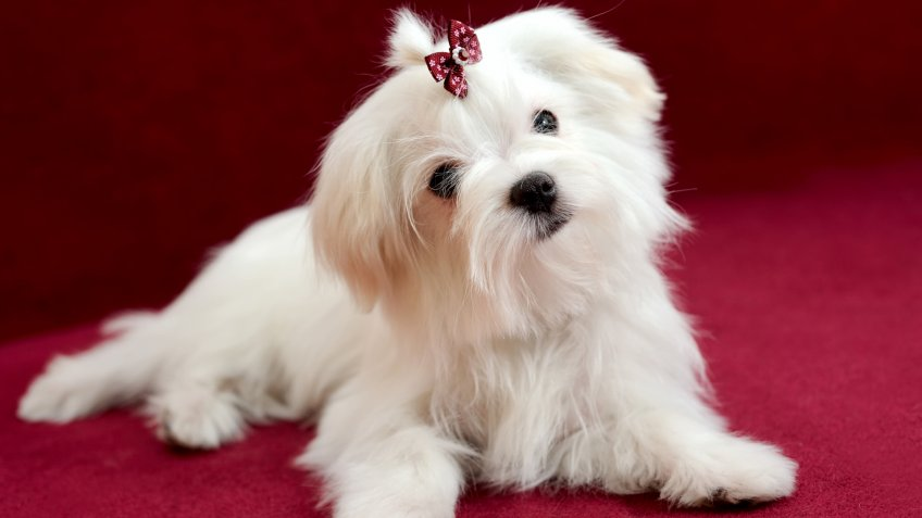Portrait of a cute white long-haired Maltese girl on a red background.