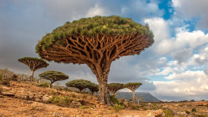 Dragon trees at Dixam plateau, Socotra Island, Yemen.