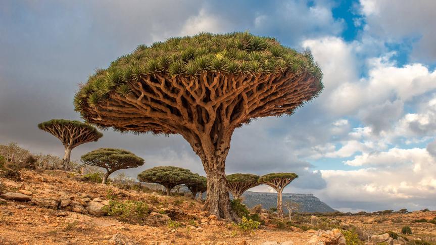 Dragon trees at Dixam plateau, Socotra Island, Yemen.