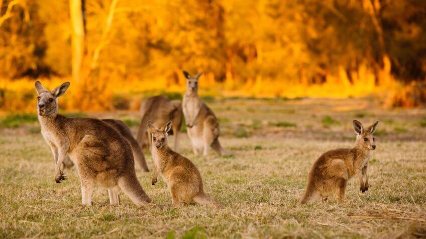 Herd of kangaroos at twilight (Coombabah Lake, QLD, Australia).