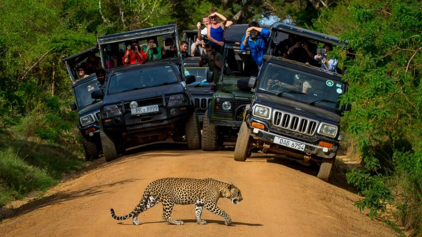 Leopard crossing the road in front of audience.