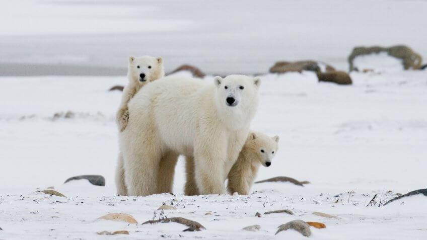 Polar bear with a cubs in the tundra.