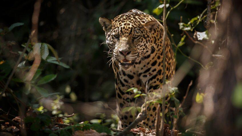 American jaguar female in the darkness of a brazilian jungle, panthera onca, wild brasil, brasilian wildlife, pantanal, green jungle, big cats, dark background, low key.