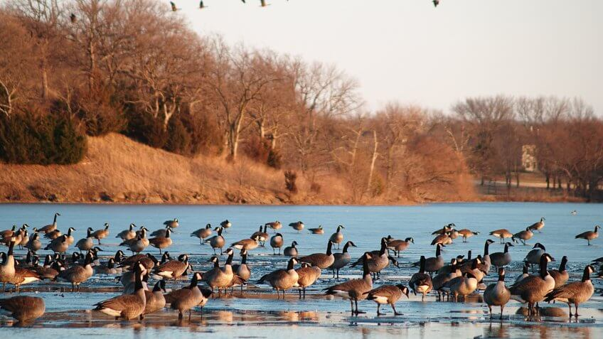 """Canada geese on and above Lake Shawnee, Topeka, Kansas, in the golden light of sunset."