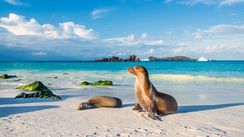 Galapagos sea lions (Zalophus wollebaeki) are sunbathing in the last sunlight at the beach of Espanola island, Galapagos Islands in the Pacific Ocean.