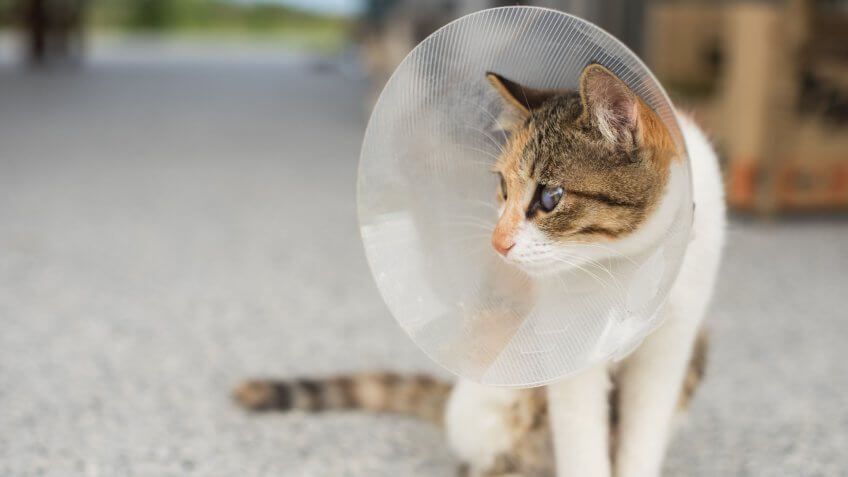 cat, cats, neutering, spaying
