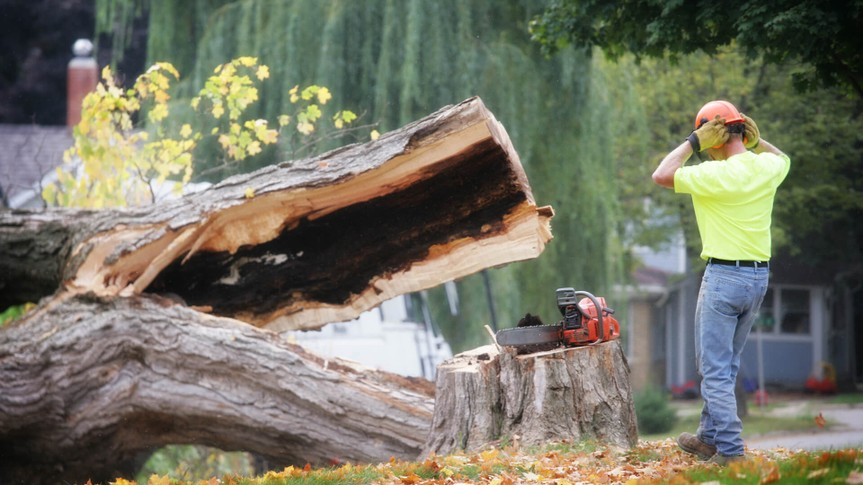 Trimmer Watching as Tree Falls