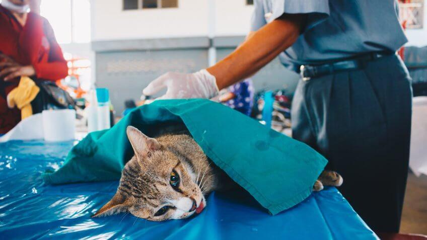 cat, cats, pet surgery