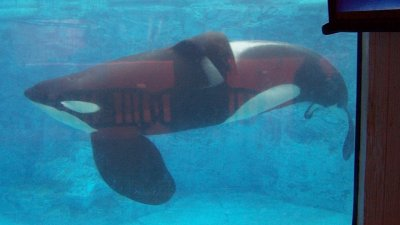 SeaWorld's Tilikum, the Killer Whale of 'Blackfish' Dies
