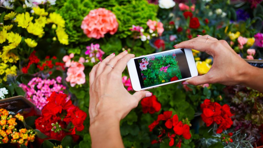 hands holding a smartphone taking a picture of flowers in garden outdoors