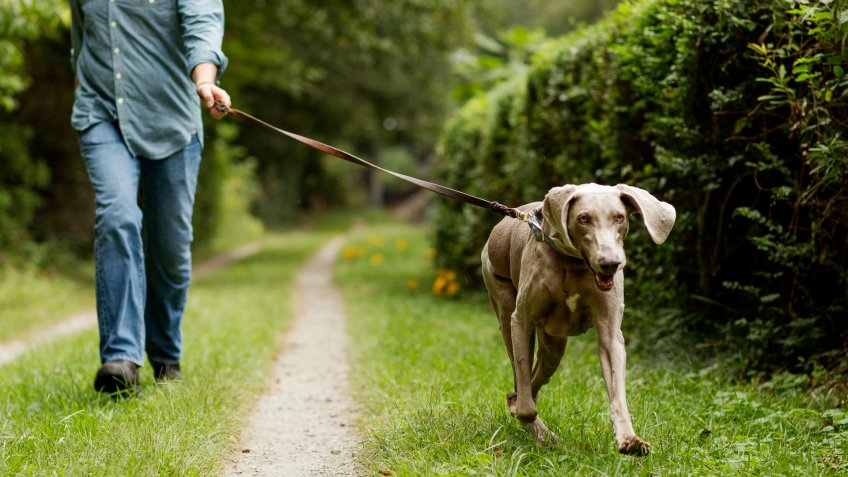 Mature man walking in park with his pet Labrador Retriever.