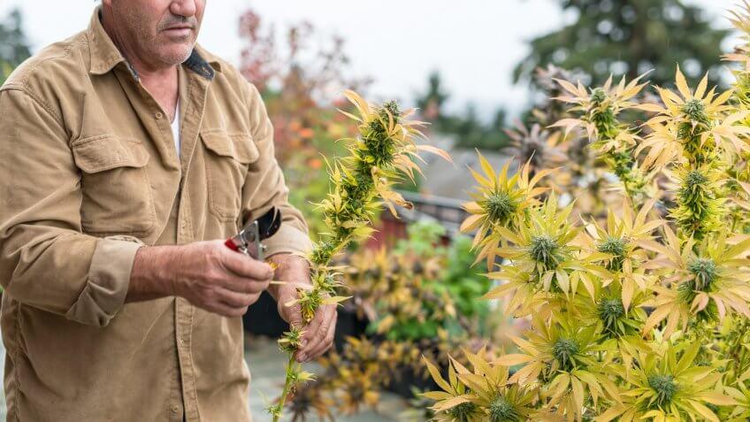 A farmer carefully inspects his marijuana plants.