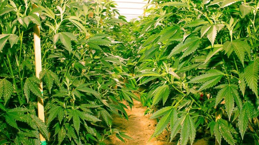 cannabis-cultivation-farm