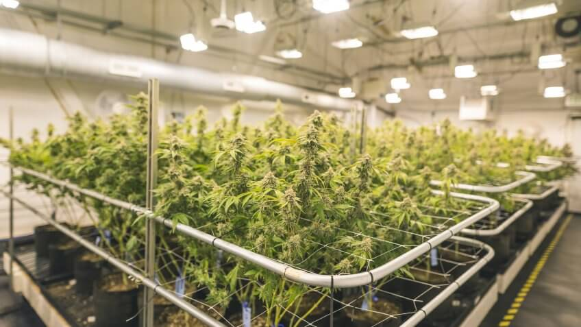 A wide shot of potted cannabis plants under artificial lights in an indoor, commercial grow facility located in Oregon.