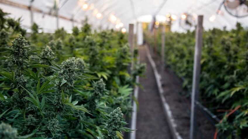 A close up of the marijuana farm industry.