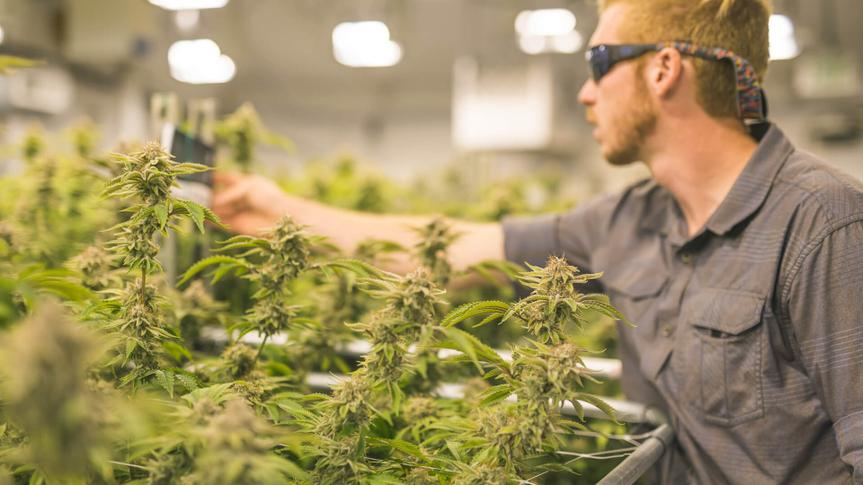 A crop of cannabis plants grow under artificial lights at a facility in Oregon.