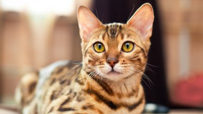 5 Most Expensive Cat Breeds In The World