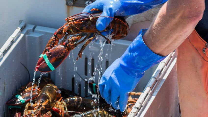 Worker draining water from a captured lobster