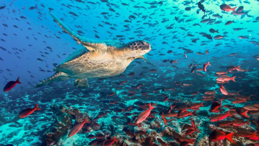 Turtle swimming across a school of fish in Galapagos.