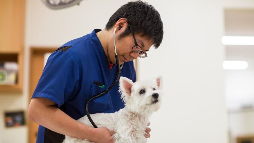 A veterinarian or veterinary technician examining a dog with a stethoscope in a clinic