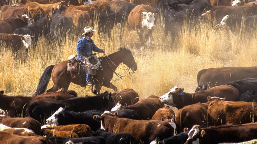 A cowboy on a horse surrounded by livestock during a cattle drive.
