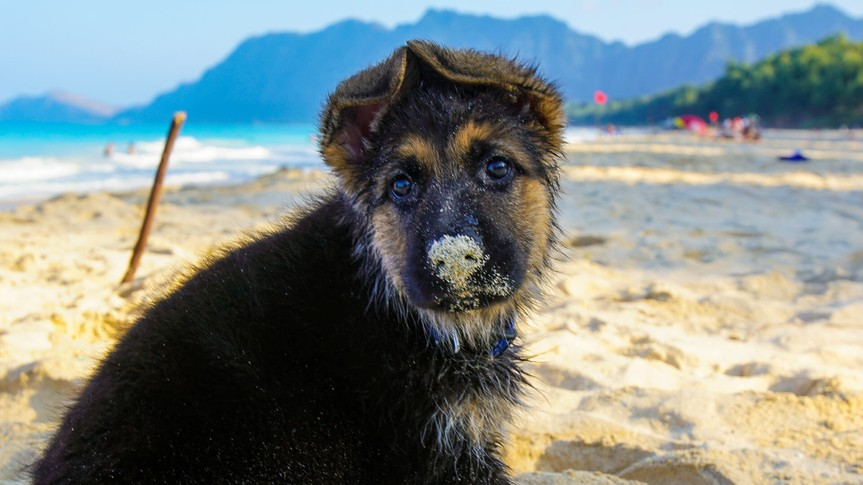 A German Shepard puppy experiencing the beach for the first time.