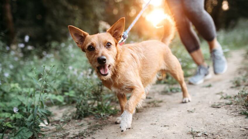 A middle aged women enjoys a morning run on a beautiful sunny day with her pet, the dogs appreciating the time outside.