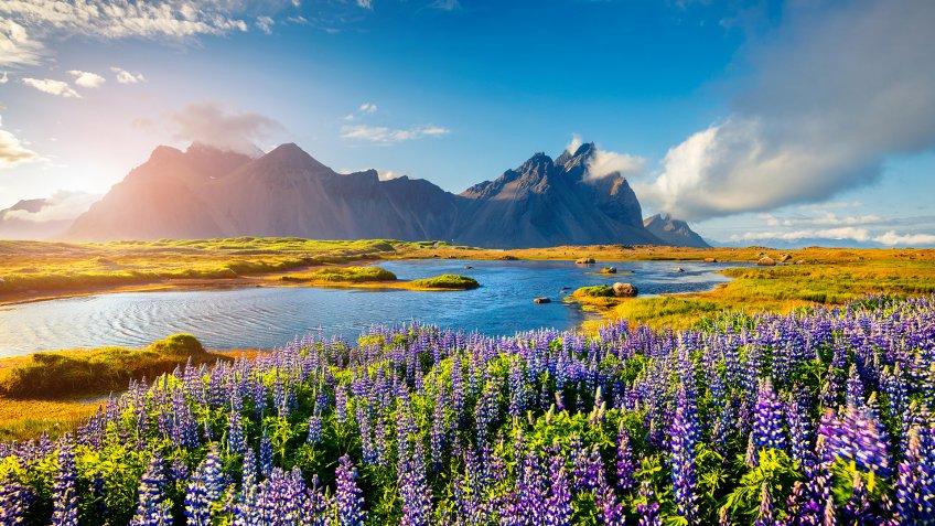 Blooming lupine flowers on the Stokksnes headland on the southeastern Icelandic coast.
