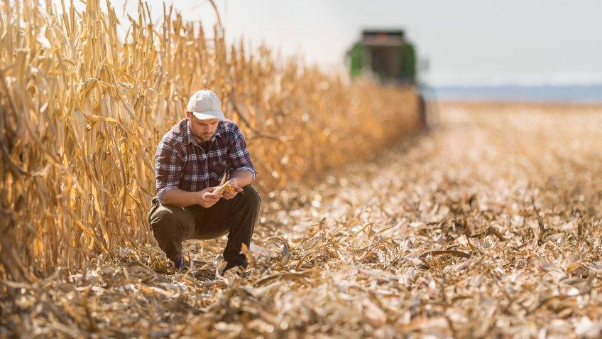 Young farmer in corn fields.
