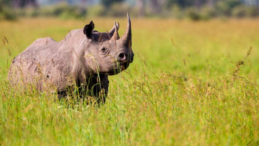 Black Rhinoceros with big horn walking in the Serengeti.