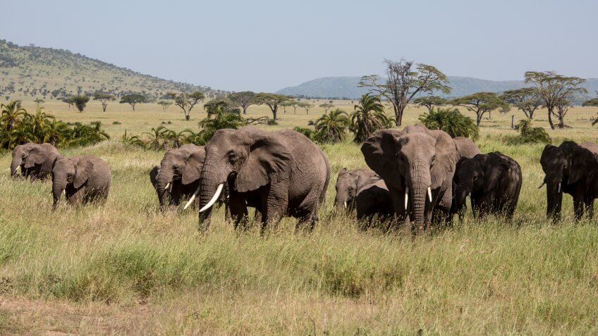 African elephants are grazing in the Serengeti Nationalpark, Tanzania, Wildlife shot,Copy space.