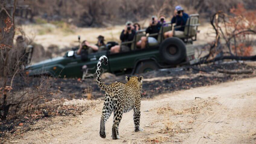 safari vehicle full of tourists watching a leopard
