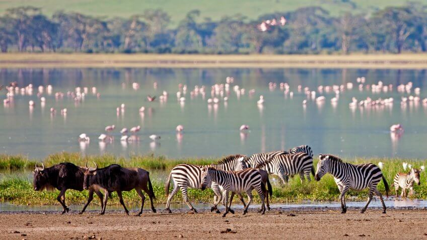 zebras and wildebeest and flamingos in Tanzania
